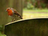 York Cemetery wildlife - robin